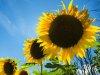 E28-2-Sunflower