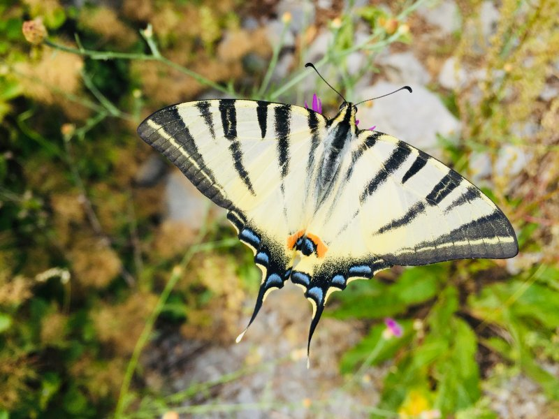 E29-3-Schmetterling